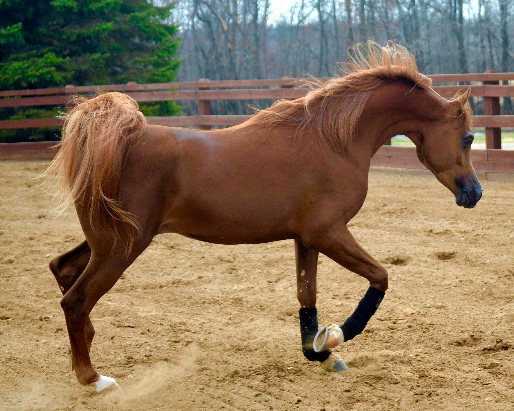 Imperatore horse vans for sale - Decadence Dha Sf Veraz X Neveah Dha May 9 2015 Chestnut Colt